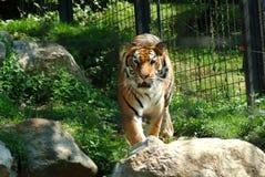 The tiger going forward, zoo of Bergamo. stock photography