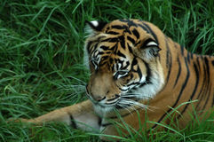 Tiger in the grass. Tiger lying in long green grass Stock Photo
