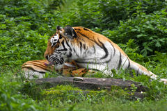 Tiger in the grass Royalty Free Stock Photography