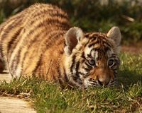Tiger in the Grass Stock Photos