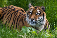 Tiger in grass. Wild tiger in tall grass Stock Images