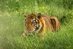 Tiger in the grass Stock Image