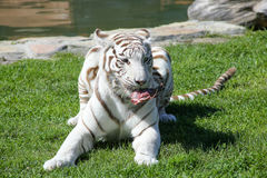 Tiger In The Grass blanco Imagen de archivo libre de regalías