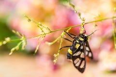 Tiger Grass Borer Moth Arkivfoto