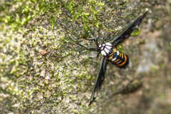 Tiger Grass Borer Moth Stock Photo
