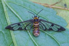 Free Tiger Grass Borer Moth On A Leaf Royalty Free Stock Photography - 104715397
