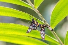 Tiger Grass Borer Moth para ihop Arkivbild