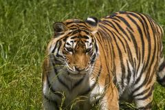 Tiger on the grass, tiger closeup royalty free stock photography