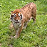 Tiger on grass Royalty Free Stock Photo