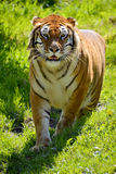 Tiger on grass Royalty Free Stock Photos