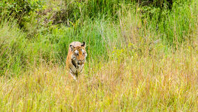 Tiger and Grass Royalty Free Stock Images