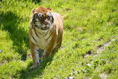 Tiger on grass Royalty Free Stock Photography