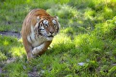 Tiger on grass Royalty Free Stock Photos