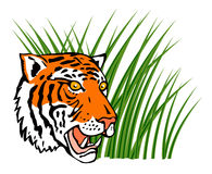 Tiger in the grass on prowl Royalty Free Stock Images