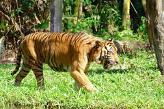 Tiger and Grassland Royalty Free Stock Photo