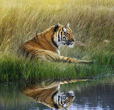 Tiger  On Grassy Bank With Reflection Stock Image