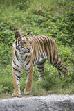 Tiger. Great image of male tiger Royalty Free Stock Photos