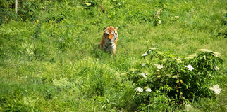 Tiger on Green Field Royalty Free Stock Image