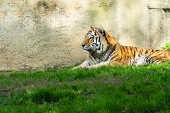 Tiger on green grass stock photos