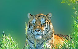 Tiger. In green grass, close-up Stock Images