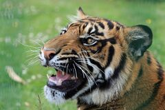 Tiger on Green Grass Field Royalty Free Stock Photos