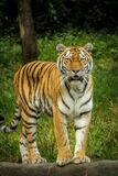 Tiger in Green Grass Near the Tree during Daytime Royalty Free Stock Photos