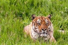 Tiger Green Grass que se sienta Imagenes de archivo