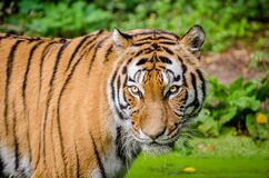Tiger on Green Lawn Grass Royalty Free Stock Photos