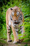Tiger Beside Green Plants Standing on Brown Land during Daytime Stock Photos