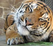 Tiger grimaces Royalty Free Stock Photos