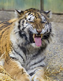 Tiger Grimmace. A tiger exhibiting Flehmen Behaviour at a zoo Royalty Free Stock Photos