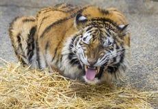 Tiger Grimmace. A tiger exhibiting Flehmen Behaviour at a zoo Royalty Free Stock Image