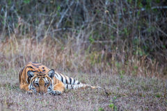 Tiger on ground. Bengal Tiger sighted in western ghats of India Stock Photos