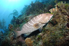 Tiger Grouper royalty free stock image