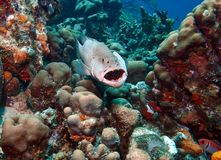 Tiger grouper Royalty Free Stock Photo