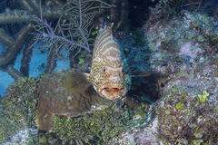 Tiger Grouper Royalty Free Stock Photography