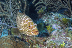 Tiger Grouper Stock Photography