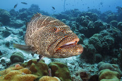 Tiger Grouper - Bonaire. Tiger Grouper (Mycteroperca tigris) Patrolling a Coral Reef - Bonaire royalty free stock images