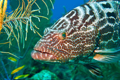 Tiger grouper. Close-up of a Tiger grouper lurking in some soft corals in a reef off of belize. Shallow depth of field with the focus on thegrouper's eye royalty free stock photos