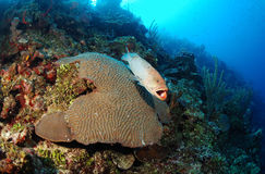 Tiger grouper fish on brain coral royalty free stock images