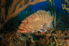 Tiger grouper. Red tiger grouper fish mycteroperca tigris face-on, surrounded by colorful corals stock photos