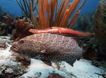Tiger grouper & trumpet fish Stock Photography
