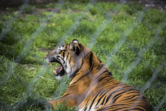 Tiger Growl Through Fence Royalty-vrije Stock Fotografie