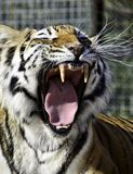 Tiger Growl Stock Photography