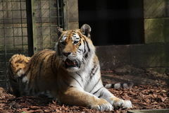 A tiger. Growling in a cage Royalty Free Stock Photo