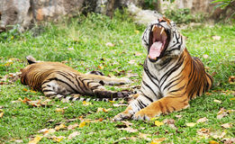 A tiger is growling Stock Image