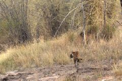 Tiger with habitat. A Bengal Tiger taking a stroll at its natural habitat at Bandhavgarh National Park in India Stock Photo