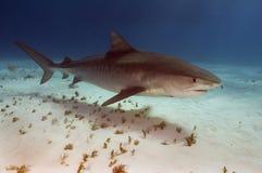Tiger-Haifisch lizenzfreie stockfotos