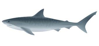 Tiger-Haifisch Stockbilder
