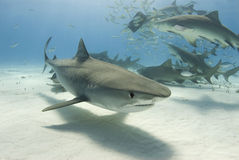 Tiger-Haifisch mit Raserei stockfotografie